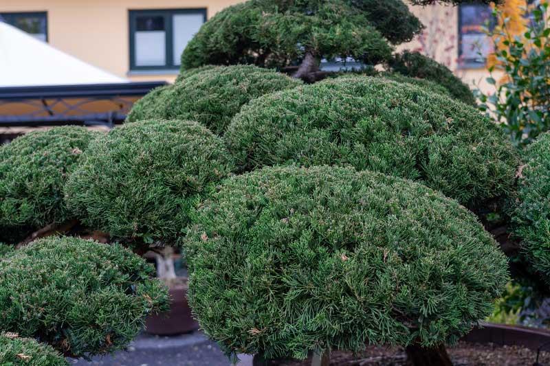 Wacholder Juniperus chinensis