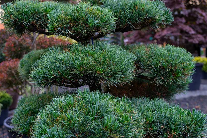Mädchen-Kiefer Pinus pentaphylla